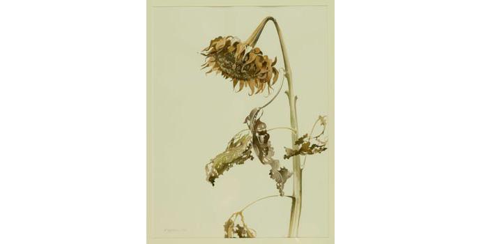 Patricia Jorgensen (1936-), Winter Sunflower, 1992. Watercolour on paper, 60 x 45 cm, WCSI.1992