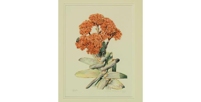 Tamlin Blake, Crassula Perfoliata V. Minor, 2003. Watercolour, 48 x 39 cm, WCSI.2003.001